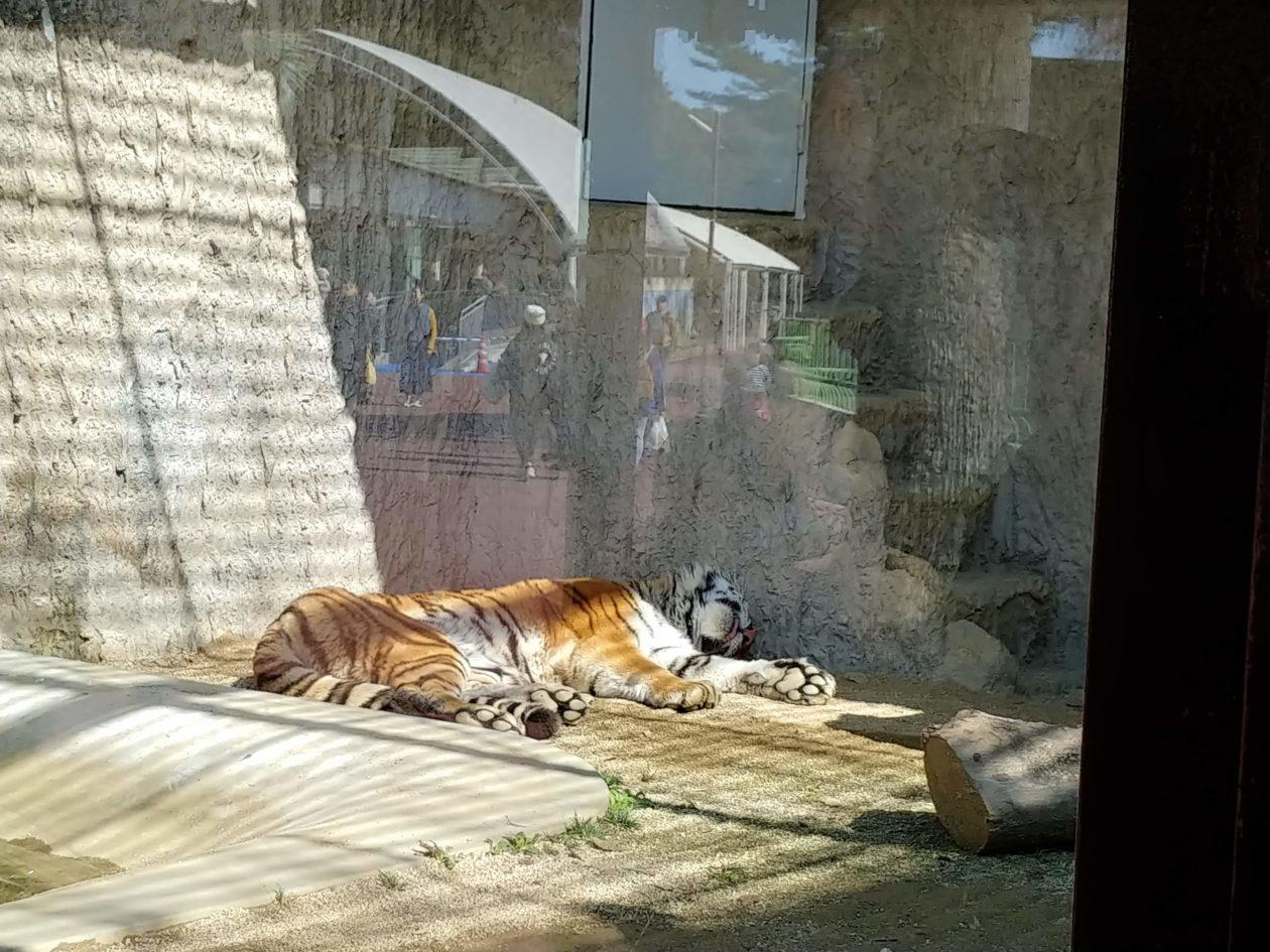 写真:気持ちよさそうに昼寝をする虎